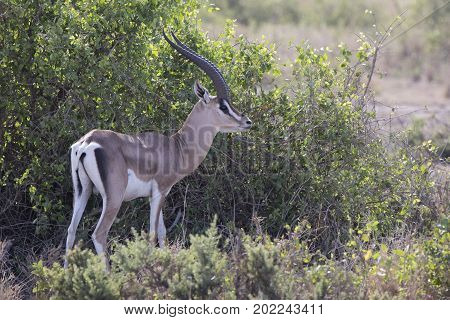 Adult male gazelle Grant who stands near a bush in the savannah