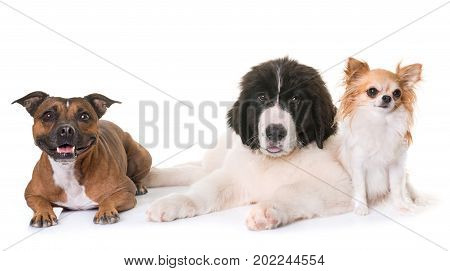 puppy landseer chihuahua and staffie in front of white background