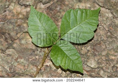 Poison Ivy (Toxicodendron radicans) growing on a log