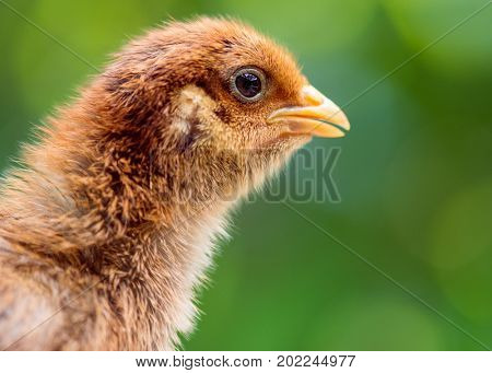 Baby chicken in poultry farm. Cute little newborn brown chick on green background. Newly hatched bird on a chicken farm - outdoors portrait.