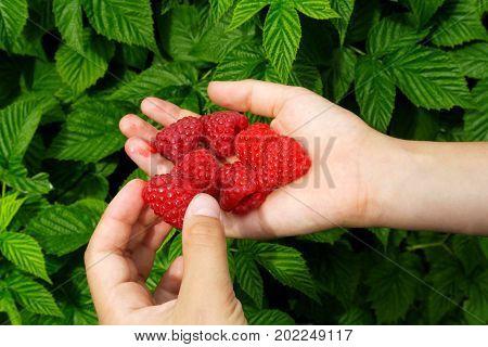 Boy's Hands Holding Freshly Picked Raspberries. Raspberry Bush In Background.
