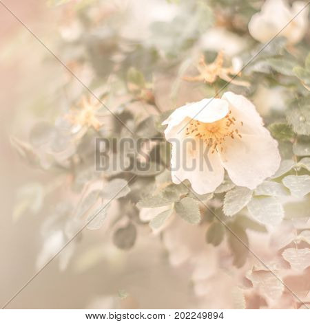 Briar flowers. Vanilla toned image. Valentine or mothers day theme. Selective focus
