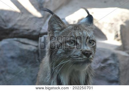 A Canadian lynx in the outdoors during summer