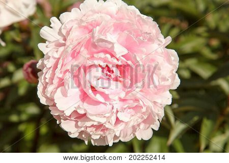 A beautiful cultivated peony flower Paeonia suffruticosa