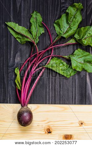 Growing Beetroot with leaves on black wooden background. Agricultural botany and farming concept