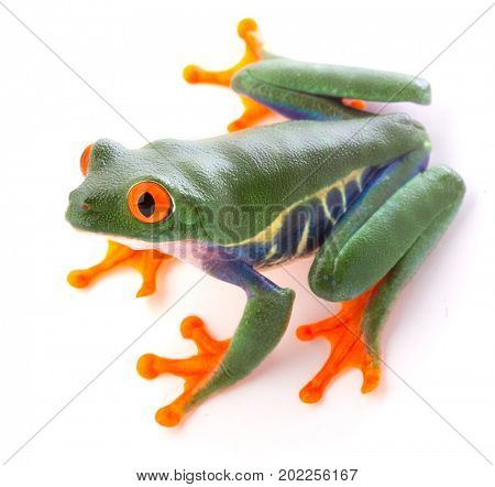 Red eyed tree frog from the tropical rain forest of Costa Rica and Panama. An endangered cute funny exotic animal with vibrant eyes isolated on white.