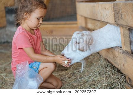 Little cute girl in summer wear feeds white goat at goat farm. Little girl with goat