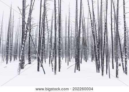 Bare Trees on Snowy Winter Day - Yellowstone National Park