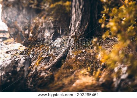 Tilt-shift shooting of cedar or pine tree base with strong roots and mossy stones around cliffy settings bush in defocused foreground autumn sunny day fairy magical look