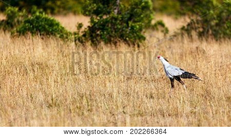 Secretary bird hunting in the savannah in Masai Mara reserve in Kenya