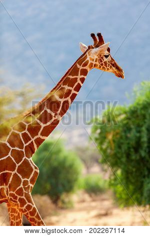 Reticulated giraffe one of Samburu special five Kenya Africa