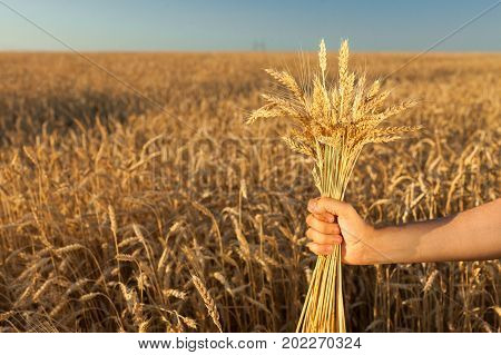 wealth botany planting concept. in the tough hand of caucasian male worker there is small bundle of cut wheats of rye symbol of fertility and well being. with free space for text