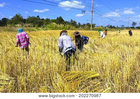 Farmer group harvest in rice paddy and blue sky at countryside of Thailand.