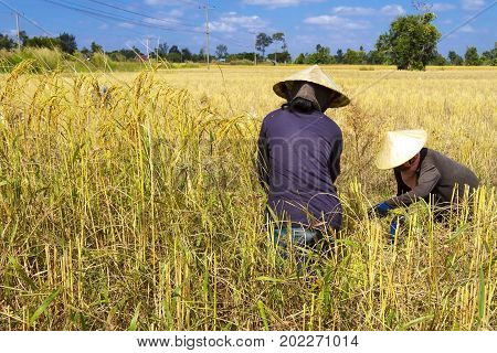 Two farmer harvest in rice paddy and sky at countryside of Thailand.