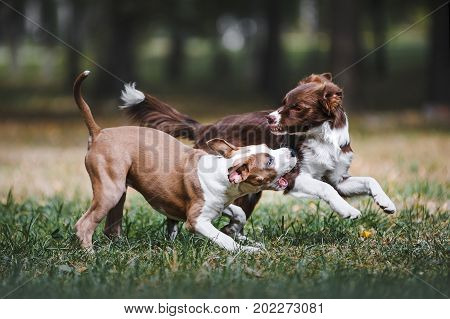 Two beautiful puppy playing in the park on nature. Dogs breed border collie and American Staffordshire terrier playing on the forest background