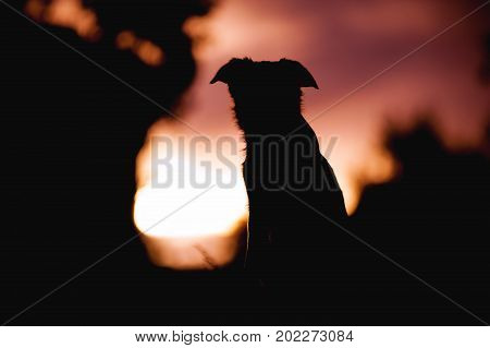 Fluffy puppy border collie sitting on a sunset background. silhouette of a dog portrait.
