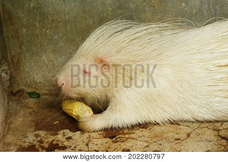 White porcupine in the zoo with nature