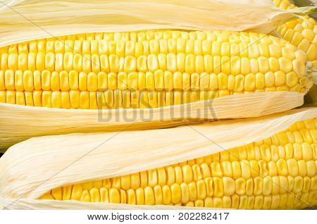 Ear of ripe sweetcorn for eating, cereal and grain, food ingredients