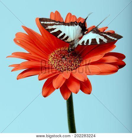 Butterfly On Gerbera Daisy
