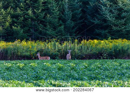 Mother and fawn white tailed deer (odocoileus virginianus) standing alert next to a Wisconsin soybean field