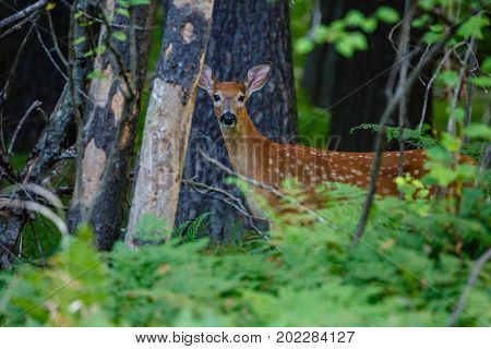 Fawn White-tail deer (odocoileus virginianus) standing in a Wisconsin forest in late summer