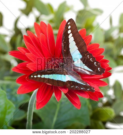 Bluebottle Butterfly