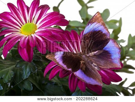 The Saturn Butterfly