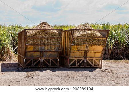 Sugar Cane Harvest Bins With Sugar Cane Crop In Field Behind