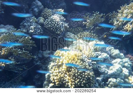Flock of small fish prolongs near corals