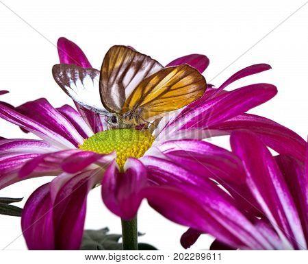 Delias Sp. Butterfly