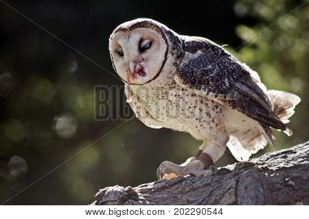 this is a close up of a lesser sooty owl eating a mouse