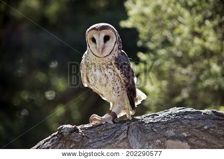 the lesser sooty owl is perched on a tree branch