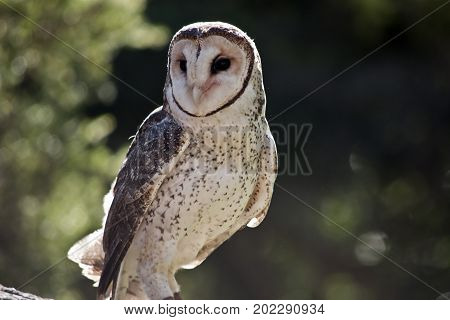 this is a close up of a lesser sooty owl