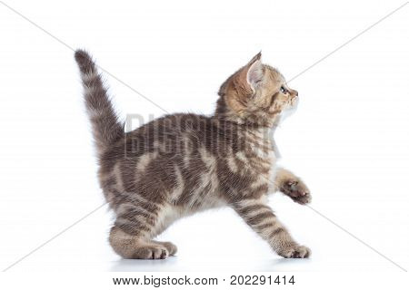 Scottish cat kitten profile side view isolated on white