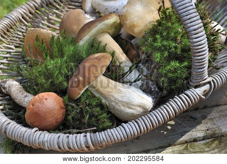 fresh cep and boletus with moss in a basket