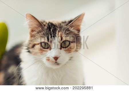 Tricolor Cat Sitting At Home On The Floor