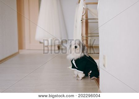 Elegant Dog In The Suit Of The Groom In The House On The Background Of A Wedding Dress