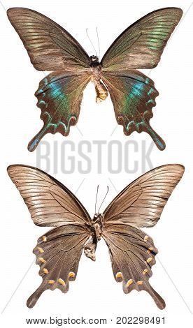 Papilio Maackii Butterfly