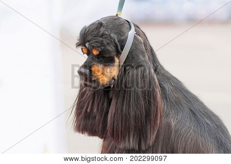 American Cocker Spaniyel Dog with big combed ears and closed eyes, green background. Space under the text. 2018 year of the dog in the eastern calendar Concept: parodist dogs, dog friend of man, true friends, rescuers.