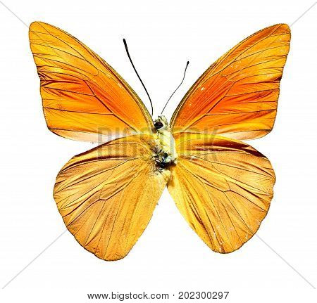 Orange Albatross Butterfly from Indonesia bottom view