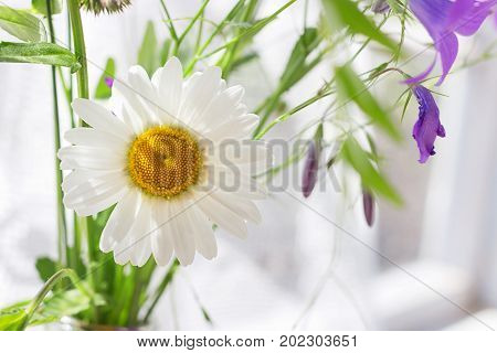 Daisy in sunlight as a nature background