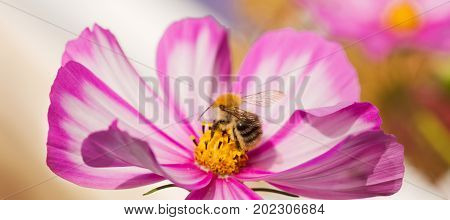 White cosmea flower with a bee on it in summer season .Bee on Cosmos flower isolated. Bee working on white cosmos flower.