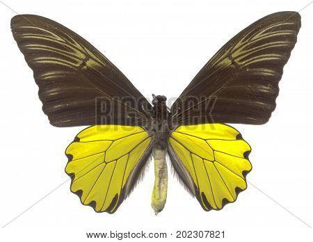 Birdwing Butterfly (Troides cuneifer paeninsulae) male upper view