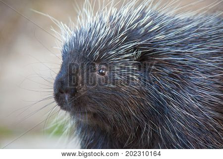 Porcupine Close-up