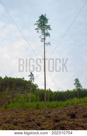 A lone tall tree on a clearing. In the background is a forest. Blue sky with white clouds.