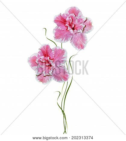 Flower azalea isolated on white background. Delicate flower