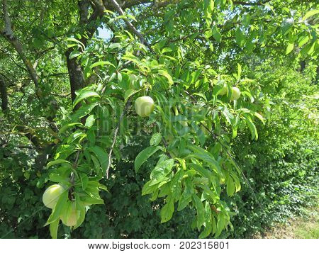 Fruit and good bruise in its four green, yellow, red and black colors here for many not yet mature but for many others it is already a matter of taste