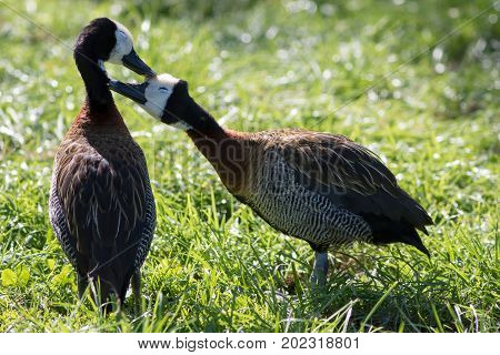 Love birds. Cute loving animal couple. Affectionate bonding pair of white-faced whistling ducks (Dendrocygna viduata) kissing as they groom.
