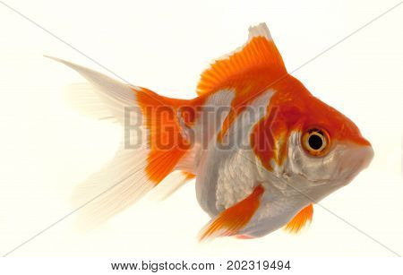 Isolated Approaching Goldfish