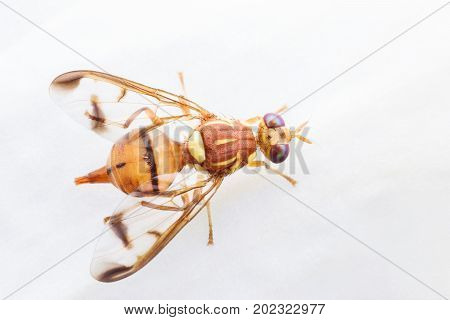 Close up Bactrocera Zonata or Peach fruit fly on white orchid